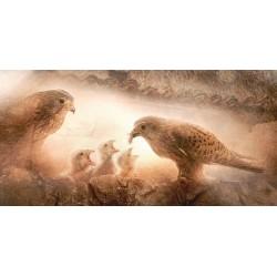 Cernícalo ceba pollos (Falco tinnunculus)