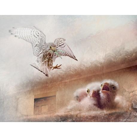 Cernícalo en vuelo (Falco tinnunculus)