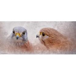 Cernícalos enamorados (Falco tinnunculus)