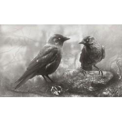 Grajillas (Corvus monedula)