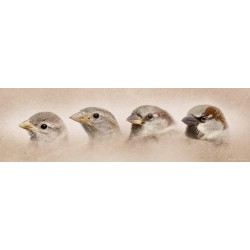 The ages of the House sparrow (Passer domesticus)