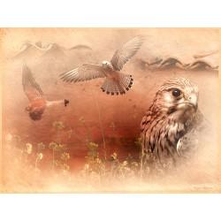 Cernícalo primilla (Falco tinnunculus)