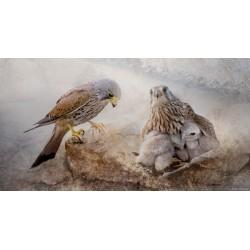 Nido de cernícalo (Falco tinnunculus)