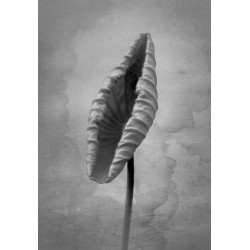 Alimoche (Neophron percnopterus)