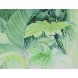 Hummingbird Eugenes fulgens