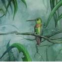 Hummingbird Polyplancta aurescens