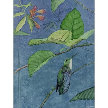 Colibrí Amazilia chionopectus