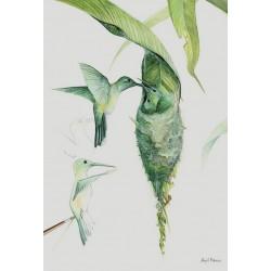 Colibrí Aglaiocercus kingi